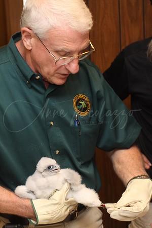 Macomb County Peregrine Falcons - Otis & Webber