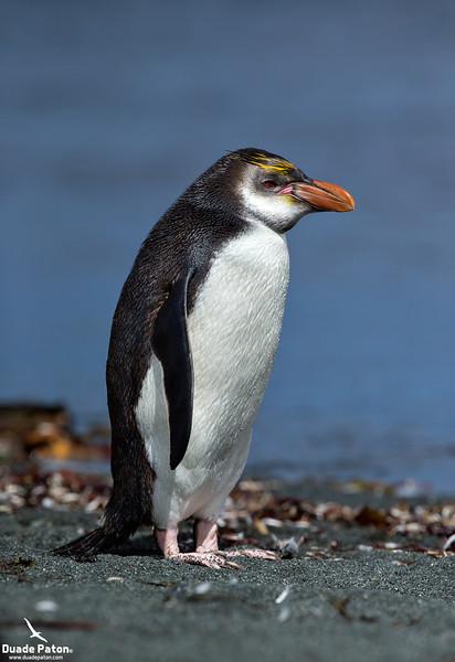 Royal Penguin