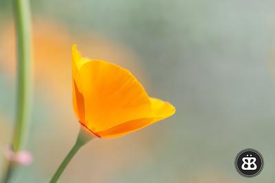 Poppy - 1