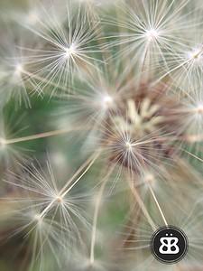 Dandelion 14