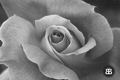 BW Rose 1