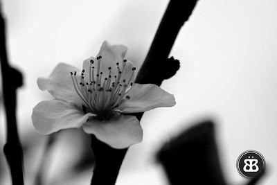 BW Peach Blossom