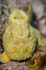 Frogfish  - Bonaire Dutch Antilles