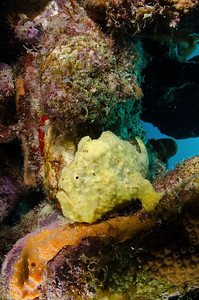 Frogfish  - Bonaire Dutch Antilles