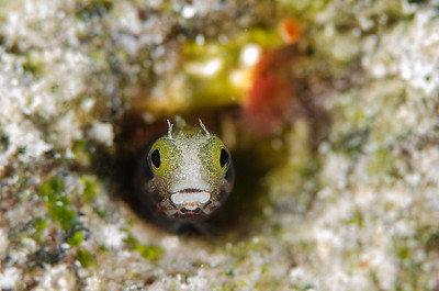 Secretary Blenny - Bonaire Dutch Antilles