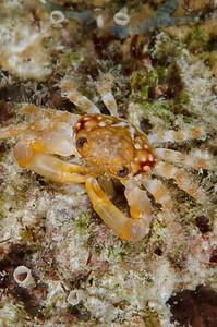 Coral crab  - Bonaire Dutch Antilles