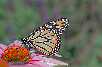 Monarch, take 1