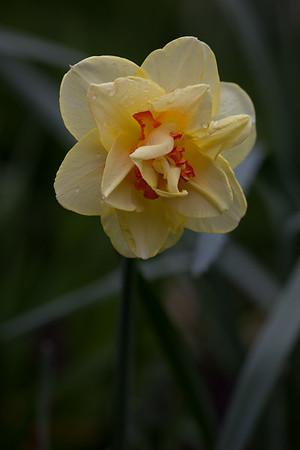 Narcissus Tahiti (Division 4-double)