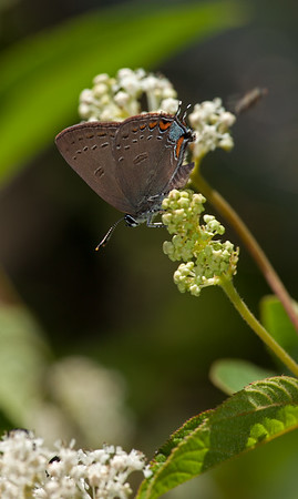 "Banded Hairstreak on NJ Tea (Horn Pond ""Mtn"")"