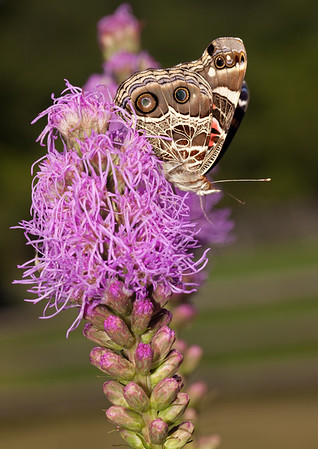 American Lady on Liatris