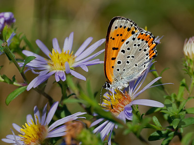 Bronze Copper   (Lycaena hyllus) at Appleton farm