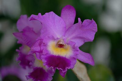 Brassolaeliocattleya  (Drumbeat X B. glauca)