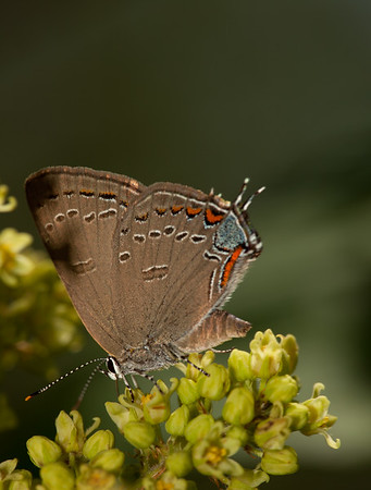 Edwards' Hairstreak on Sumac-Horn Pond Mountain