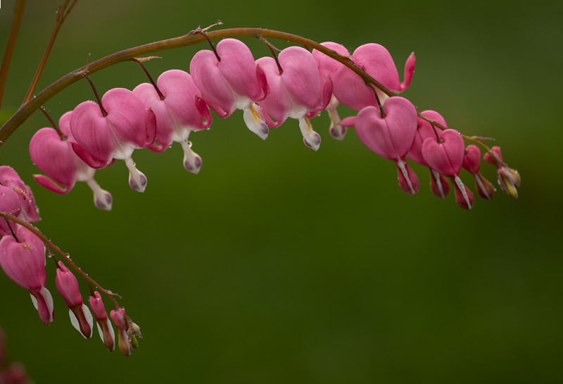 Bleeding Heart 2018  ( Dicentra spectabilis, 'Old Fashioned')