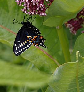 Black Swallowtail on Milkweed-Appleton Farm