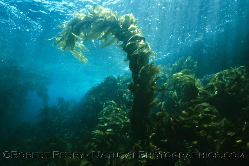 Macrocystis pyrifera shallow plant & blue surface LOG 1247 Anacapa--100
