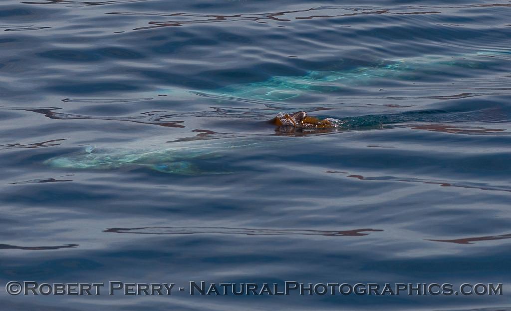 Grampus griseus UW towing Macrocystis on dorsal fin 2009 12-20 Sta Cruz Island - 225