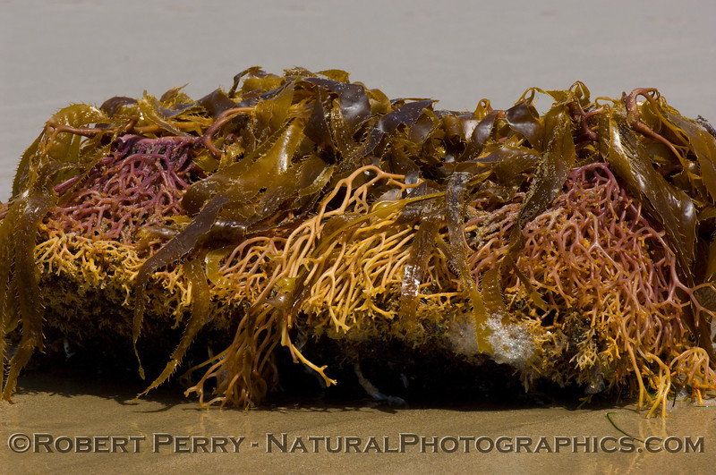 Holdfasts of Giant kelp (Macrocystis pyrifera)washed ashore at Zuma Beach April 6, 2006.