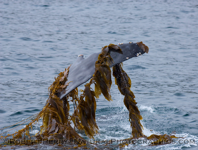 "Humpback Whales (Megaptera novaengliae) love Giant kelp (Macrocystis pyrifera).  Here a whale lifts its long pectoral fin draped in kelp and prepares to slap the water; aboard the Condor Express on July 10, 2007, near the west end of Santa Cruz Island.  You can click on ""Map This"" and see the exact spot."