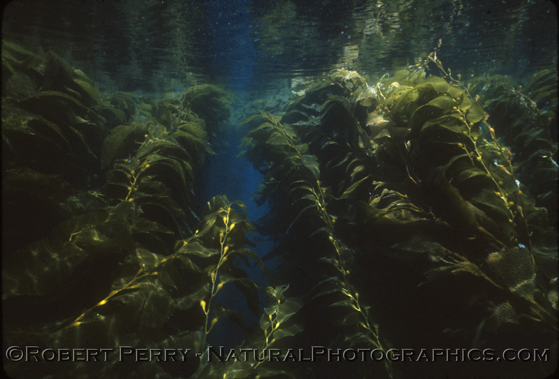 Friday, June 27, 1980 diving with the Australian dive instructor, Bob Bury, just east of Cat Rock, Anacapa Island.  Water temp 62F and over 100-foot visibilty. One of my favorite days underwater: a gentle current wafts through the Giant kelp (<em>Macrocystis pyrifera</em>) forest. Dive log 699.