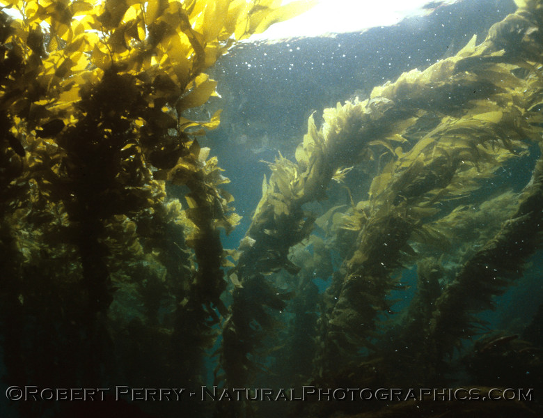 Another shot of Mature giant kelp (Macrocystis pyrifera)  Taken during one of my dive classes, PADI Open Water training dive #5 aboard my Dive Boat Sandy Bay, Sunday May 18, 1986.  This was on the south side of Anacapa, in the gap between East and Middle Islands.  Air temp 60F. Water 58F, and 60-foot viz.  Dive log 1225.