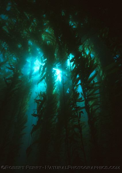 "LOG 1209 - Deep inside the giant kelp (Macrocystis pyrifera)forest where the sun barely peaks through.  February 10, 1986, 1115a - 12 noon.  We call this the ""white spot"" on the south side of West Anacapa Island.  Air 68F, water 58F, 100-foot visibility."