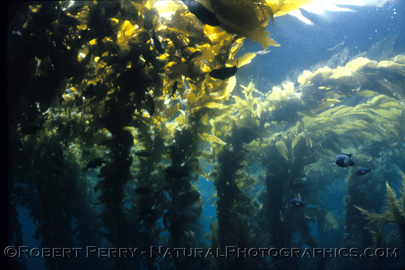 Mature giant kelp (Macrocystis pyrifera) can be seen forming a canopy on the surface.  Taken during one of my dive classes, PADI Open Water training dive #5 aboard my Dive Boat Sandy Bay, Sunday May18, 1986.  This was on the south side of Anacapa, in the gap between East and Middle Islands.  Air temp 60F. Water 58F, and 60-foot viz.  Dive log 1225.