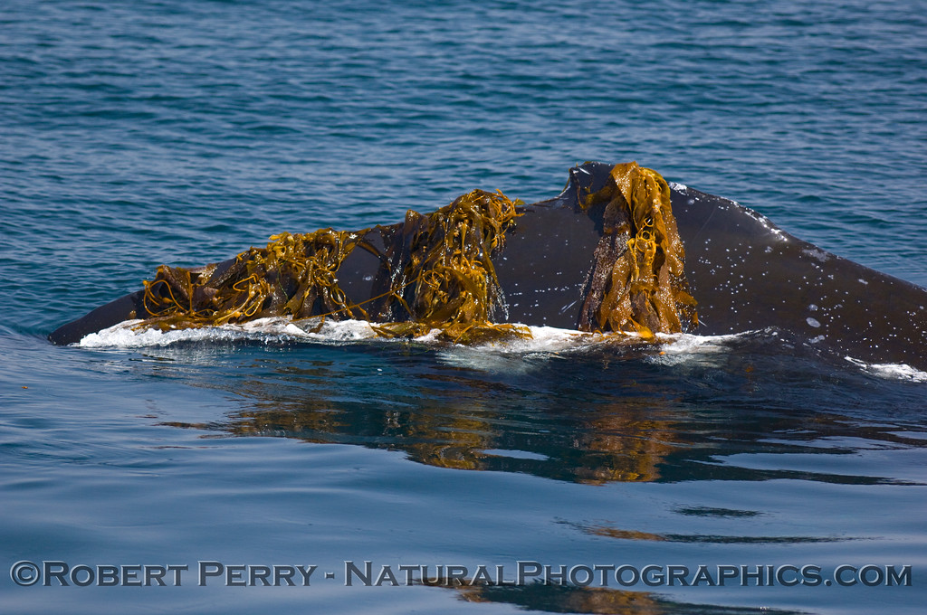 Humpback Whales (Megaptera novaengliae) love Giant kelp (Macrocystis pyrifera).  Here a whale surfaces with kelp all over its back.  Condor Express....June 8, 2008, Santa Barbara Channel.
