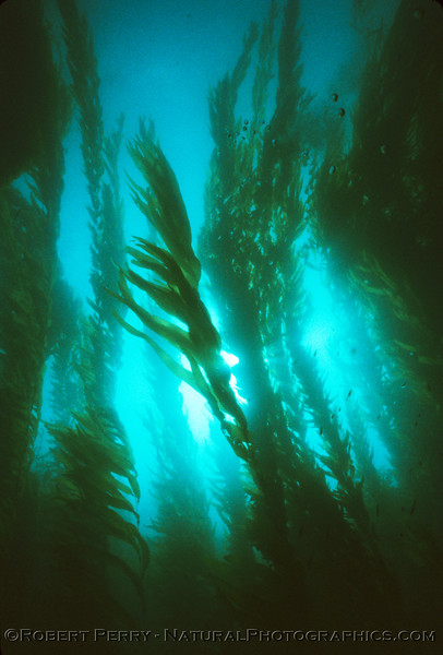 Back to the heart of the giant kelp (Marcrocystis pyrifera)forest and the sunlight filtering through.  Dive LOG 1038 - with Suellen, Scott Berton and Grant Graves running an advanced PADI search and salvage class, south side of east Anacapa Island. April 21, 1984.