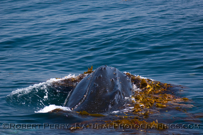 Humpback Whales (Megaptera novaengliae) love Giant kelp (Macrocystis pyrifera).  Here a whale surfaces within a kelp paddy and rubs its head in the seaweed; June 8, 2008...Santa Barbara Channel...Condor Express.
