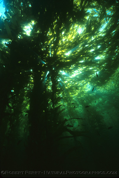 "LOG 1209 - Deep inside the giant kelp (Macrocystis pyrifera)forest and the thick canopy on the surface. A few small fish can be seen.  February 10, 1986, 1115a - 12 noon.  We call this the ""white spot"" on the south side of West Anacapa Island.  Air 68F, water 58F, 100-foot visibility."