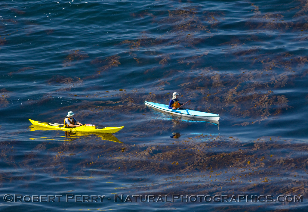 "March 22, 2008: Kayakers explore the Giant kelp (Macrocystis pyrifera)beds off the tip of Big Dume, Malibu.  Click on ""Map This"" above and see the exact location.  There had been some Gray Whales passing by the Point too."