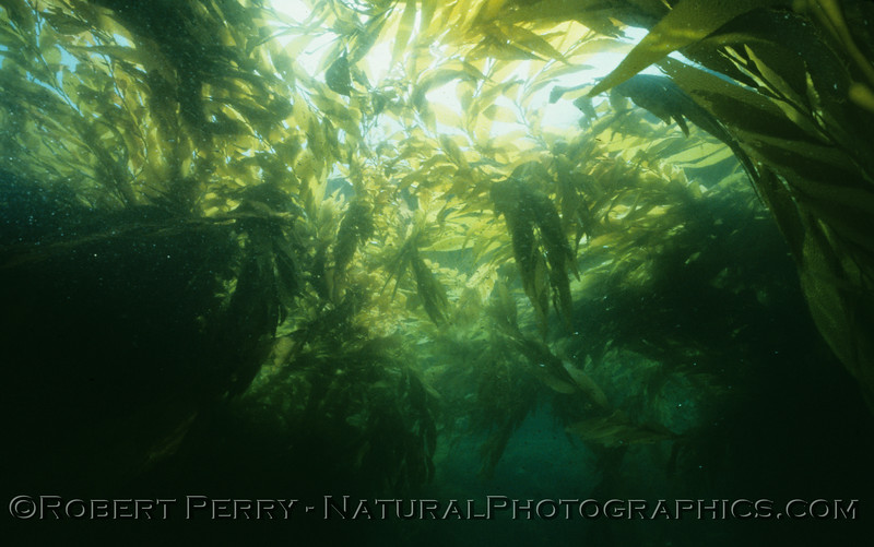 Dive LOG 1063 - Wednesday, August 1, 1984 aboard the dive boat Sandy Bay.  Peter Darley Miller and Chuck Brinkman were along to explore the dense giant kelp (Macrocystis pyrifera) forest along the west end of Anacapa Island.  Air 70F, water 73F...mmmmmm!