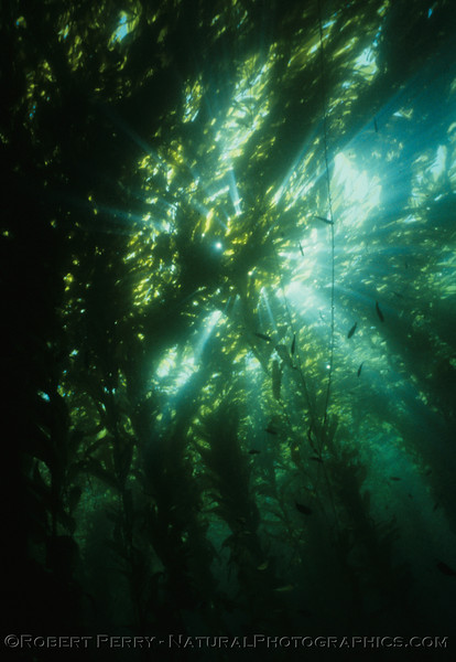 Macrocystis pyrifera forest canopy sunlight flare small fish LOG 1209 02-1986 Anacapa--088