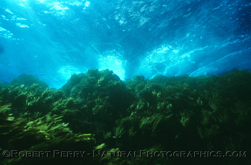 Lush algal growth up shallow. Aboard my Dive Boat Sandy Bay, Sunday May 18, 1986.  This was on the south side of Anacapa, in the gap between East and Middle Islands.  Air temp 60F. Water 58F, and 60-foot viz.  Dive log 1225.