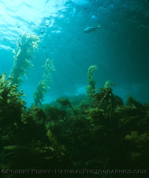 Young giant kelp (Macrocystis pyrifera) rises up from a dense bed of other phaeophytes. Dive log 1079, Fish Camp Point, Anacapa Island, air temp 65F, water 62F, Saturday October 27, 1984 aboard the dive boat Sandy Bay.