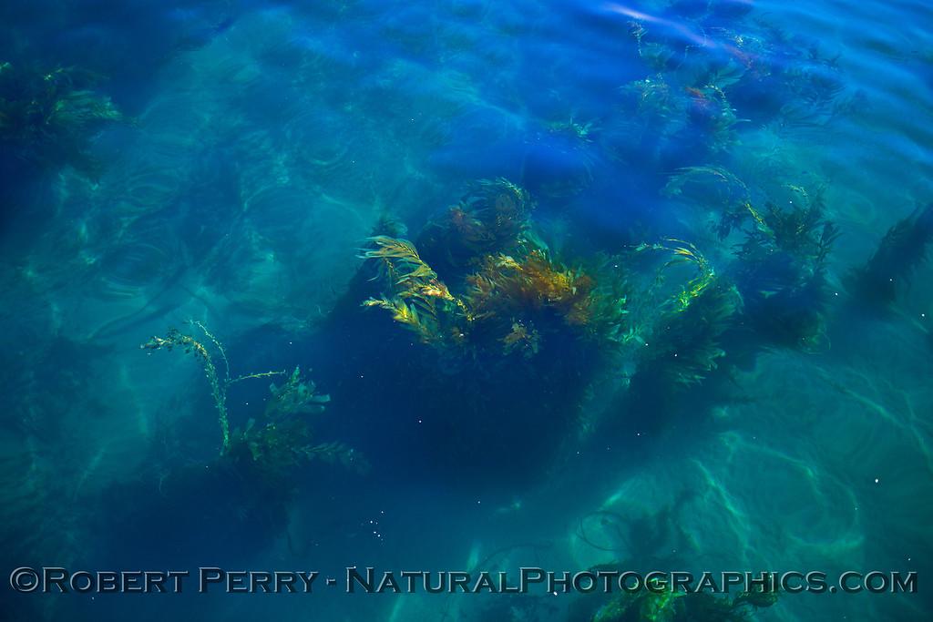 Macrocystis pyrifera whole plant in super clear water 2015 10-21 Mohawk Reef SB Coast-d-017