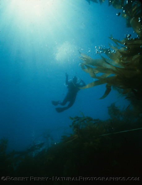 Suellen descends.  You can barely see the anchor line and silhoutte of the dive boat Sandy Bay if you look hard. Dive LOG 1048, Saturday June 9, 1984 at Coches Prietos, Santa Cruz Island.  Air 75F, surface water 74F, bottom water 70F...over 60-foot visibility in the giant kelp forest (Macrocystis pyrifera.