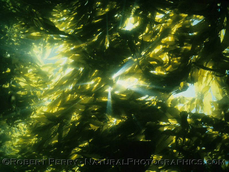 LOG 1244 - Saturday, July 12, 1986 130-200pm just east of the ridge, north side, West Anacapa.  The sun peaks through the thick giant kelp canopy (Macrocystis pyrifera).  Air 72F, water 68F, 80-foot visibility.