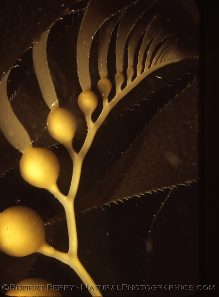 "A very close underwater study of the apical fronds, or ""growing tip,"" of Giant kelp (<em>Macrocystis pyrifera</em>)."