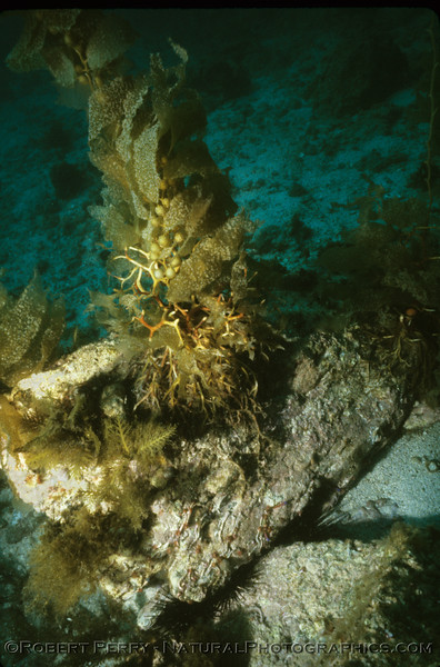 Giant kelp (Macrocystis pyrifera)holdfast attached to rock slab. Dive LOG 1028 aboard the dive boat Charisma to Isthmus Reef, Catalina Island on Saturday, March 10, 1984.  Air 65F, water 59F, and 60-foot visibility.
