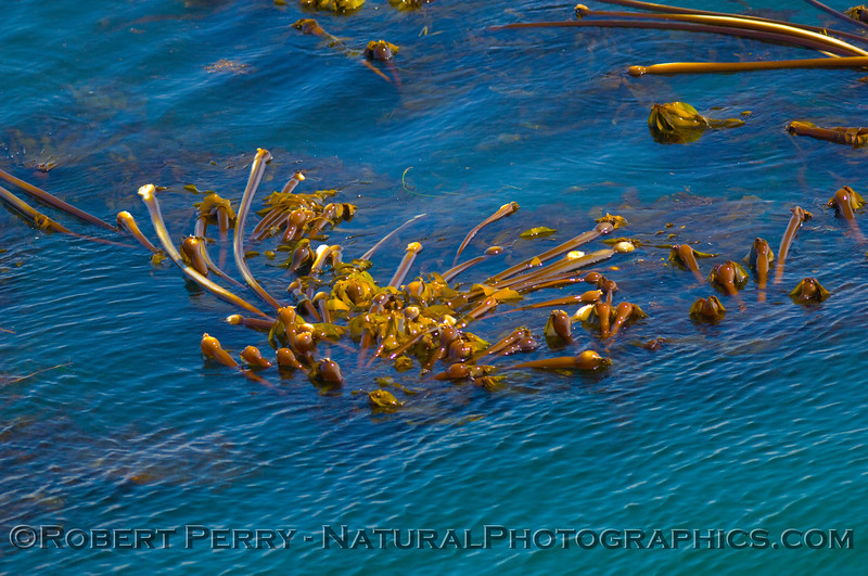 Bull kelp (Nereocystis luetkeana)exposed on the surface at low tide.