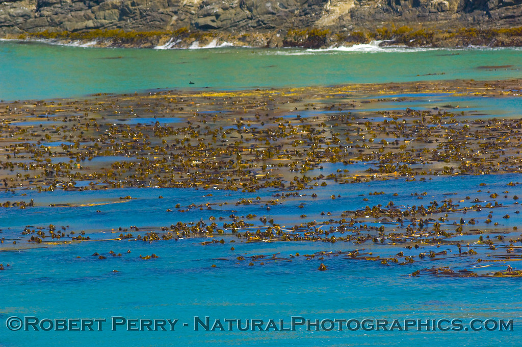 Bull kelp (Nereocystis luetkeana)beds just offshore, exposed on the surface at low tide.