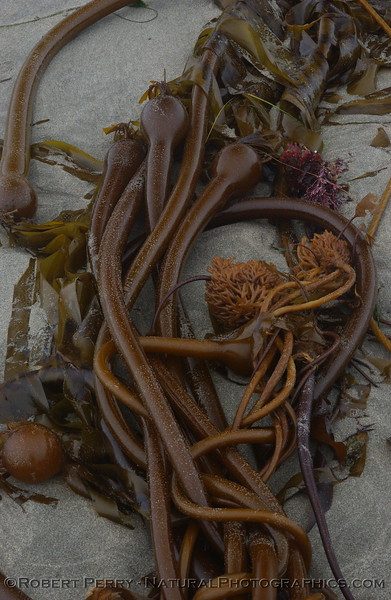 Bull kelp (Nereocystis luetkeana)stipes,gas bladders and holdfasts washed up on a sand beach.