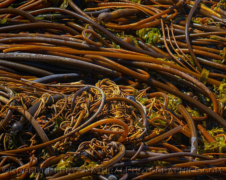Pelagophycus porra Elk kelp on beach 2021 09-28 Pt Arena--015