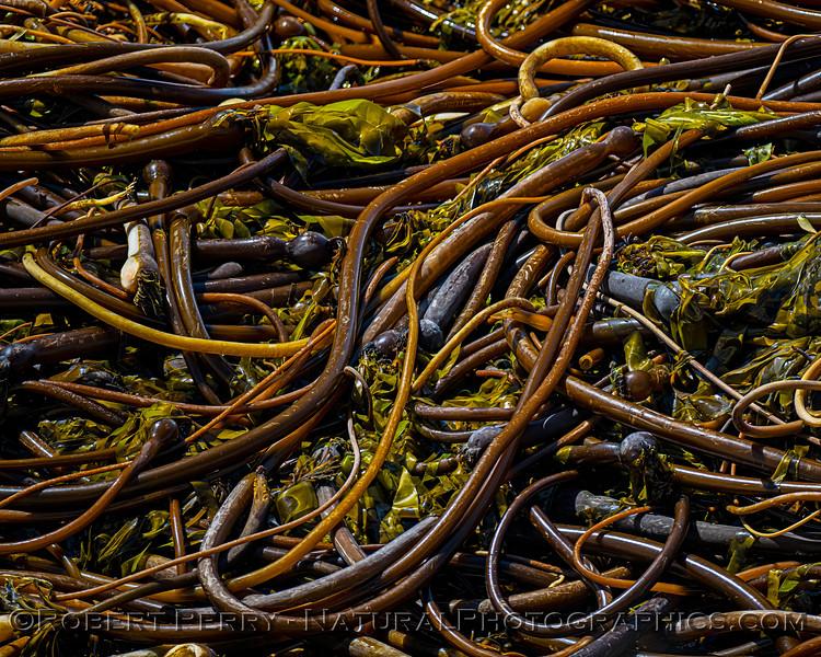 Pelagophycus porra Elk kelp on beach 2021 09-28 Pt Arena--028