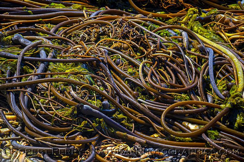 Pelagophycus porra Elk kelp on beach 2021 09-28 Pt Arena--040