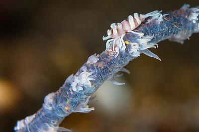 Shrimp Focus