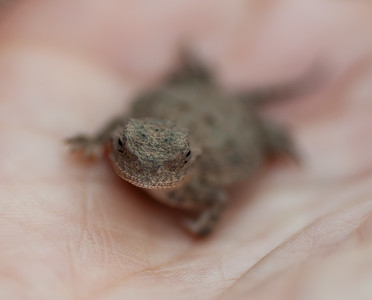 Baby Short-Horned Lizard