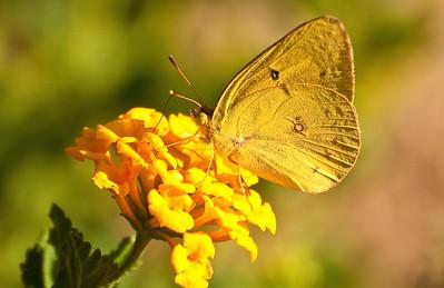 Pahaska Skipper Butterfly